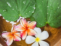Flowers Plumeria Green leaves on water surface Stock Image