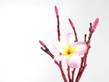 close up pink frangipani or plumeria flowers isolated on white background Royalty Free Stock Images