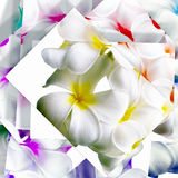 Flowers of Plumeria Royalty Free Stock Image