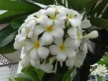 Flowers of plumeria Royalty Free Stock Images
