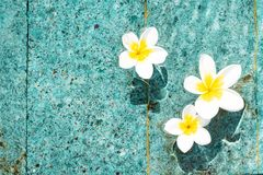 Flowers of plumeria in the turquoise water surface. Water fluctuations copy-space. Spa concept background Stock Image