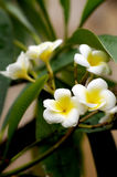 Flowers of plumeria Royalty Free Stock Photography