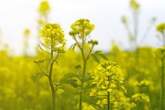 Flowers and pods of mustard on the field, against the sky.  Stock Photography