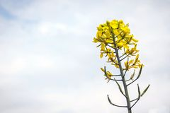 Flowers and pods of mustard on the field, against the sky.  Stock Image