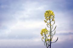 Flowers and pods of mustard on the field, against the sky.  Royalty Free Stock Photo