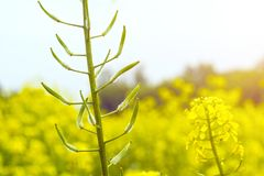 Flowers and pods of mustard on the field, against the sky.  Stock Photo