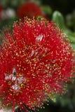 Flowers of the Pohutukawa Tree (Metrosideros excelsa) Royalty Free Stock Photos