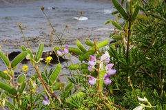 Flowers at Point Lobos State Park Royalty Free Stock Images
