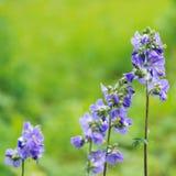 Flowers Polemonium Royalty Free Stock Images