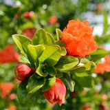 Flowers of pomegranate tree Royalty Free Stock Images