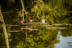 Flowers on the pond. Water canals run all across Angkor complex. Nature is all over. This picture is an example of that Royalty Free Stock Image