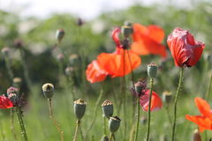 Flowers. Poppies again. as you can see Royalty Free Stock Photography