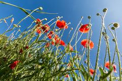 Flowers poppies on a background sky Royalty Free Stock Photo