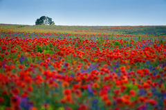 Flowers poppies and bells field on morning colors royalty free stock photo