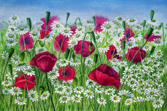 Flowers of poppies and daisies in a meadow - watercolor painting Royalty Free Stock Photos