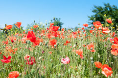 Flowers poppies Royalty Free Stock Photography