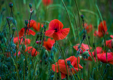 Flowers poppies field colors nature meadow green red summer plan Royalty Free Stock Photo