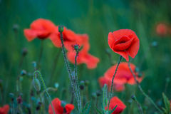 Flowers poppies field colors nature meadow green red summer plan Royalty Free Stock Image