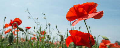 Flowers - Poppies - Field Stock Photography
