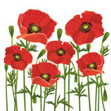Flowers Poppies Isolated On White Background Royalty Free Stock Photo