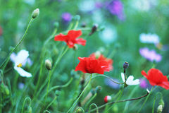 FLOWERS. Poppies and other flowers grow Royalty Free Stock Images