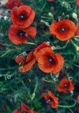 Flowers of poppy bush stock photo