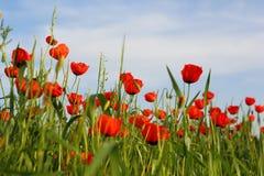 Flowers poppy field ladscape  meadow Stock Images