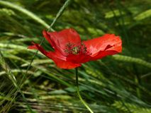 Flowers, Poppy, Macro, Nature Stock Image