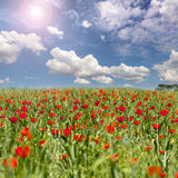 Flowers poppy  meadow sky landscape Royalty Free Stock Photography