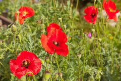 Flowers of poppy seed pods Stock Photo