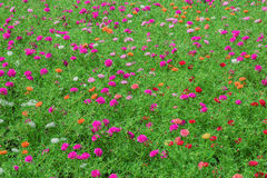 Flowers Portulaca oleracea Stock Photo