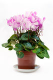 Flowers in pot Royalty Free Stock Images