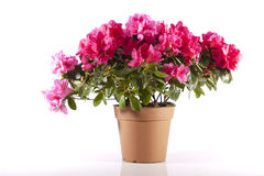 Flowers in a pot. On a white background stock images