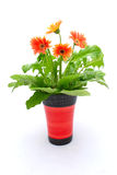 Flowers in pot. Beautiful orange Gerber flowers in a pot for interior decoration on mother's day. Image isolated on white studio background Stock Images