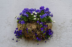 Flowers pot with blue pansies and white daisies Royalty Free Stock Image