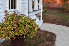 Flowers in Pot by House. Some flowers growing in a pot in front of a white house with path leading up to the front porch Stock Image