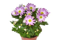 Flowers in pot isolated (clipping path) Royalty Free Stock Photos