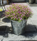 Flowers in pot. Lovely pink flowers in pot Royalty Free Stock Photos