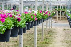 Flowers pot nursery . Flowers pot nursery for garden in the greenhouse stock image