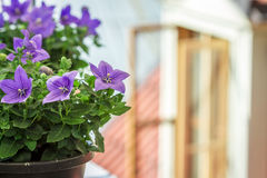 Flowers in a Pot Outside Royalty Free Stock Images