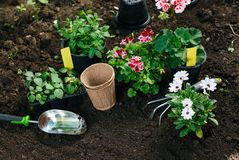 Flowers in pot before planting and some tools at summer garden.  Royalty Free Stock Photo