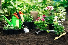 Flowers in pot before planting and some tools at summer garden.  Stock Image
