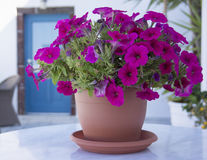 Flowers in a pot in Santorini Stock Photography