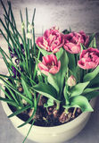 Flowers pot with spring flowers: pink tulips and Lily of the Valley . Springtime Container Gardening Royalty Free Stock Photos
