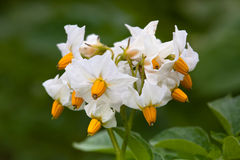 Flowers of potato Stock Images