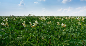 Flowers of potato plant Stock Photos