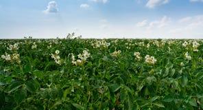 Flowers of potato plant Stock Photos
