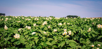 Flowers on a potato plant. In prince edward island stock image