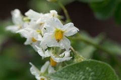 Flowers of a potato plant. Solanum tuberosum stock photos