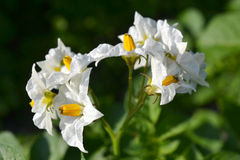 Flowers of potato plants. Royalty Free Stock Photography